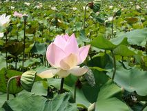 Beautiful Lotus farm Stock Photos