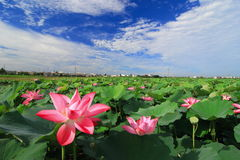 Beautiful Lotus Field under blue sky Stock Image