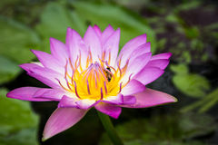 Beautiful lotus flower and Bee. Bee absorb the pollen of Lotus closeup Royalty Free Stock Photos