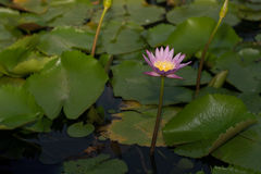 Beautiful lotus flower in blooming. Beautiful lotus flower in blooming Stock Photo
