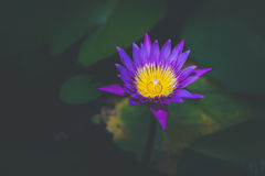Beautiful lotus flower in blooming. Beautiful lotus flower in blooming Royalty Free Stock Images