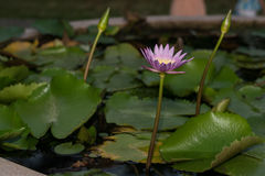 Beautiful lotus flower in blooming. Beautiful lotus flower in blooming royalty free stock photography