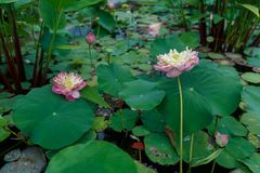 Blossom lotus flower in a pond Royalty Free Stock Images