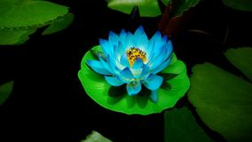 Beautiful lotus flower. The colorful lotus flower made of colored fabric floating on the water stock image