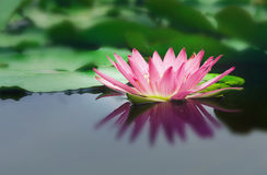 Beautiful lotus flower is complimented by the rich colors of the deep blue water surface Royalty Free Stock Photography