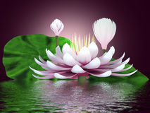Beautiful lotus flower. 3d illustration of the flower reflecting in the water Royalty Free Stock Photography