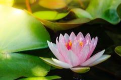 Beautiful lotus flower Ellisiana or Tubtim Siam Water Lily bloom Royalty Free Stock Photos