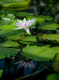 A beautiful lotus flower floating in a pond Stock Images