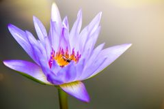 Beautiful Lotus Flower with green leaf in pond. Beautiful Lotus Flower with green leaf pond stock photo