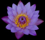 Lotus flower. The beautiful lotus flower isolated Royalty Free Stock Photography