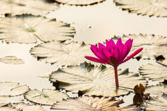 Beautiful lotus flower. On a lake at morning Royalty Free Stock Photo