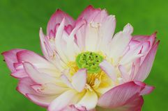 Beautiful lotus flower pattern Royalty Free Stock Photo