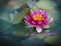 Beautiful lotus flower. Pink lotus flower blooming in a pond Stock Images