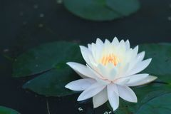 Beautiful Lotus flower in pond. Copy space royalty free stock photos