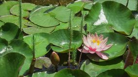 Beautiful Lotus Flower In Pond stock footage