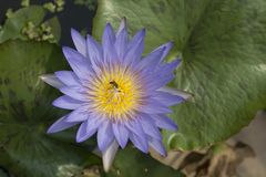 Beautiful lotus flower in the pond with bee. Beautiful nature Royalty Free Stock Images