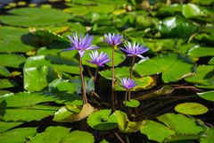 Lotus flower in pond at marina bay front, Singapore Royalty Free Stock Photo