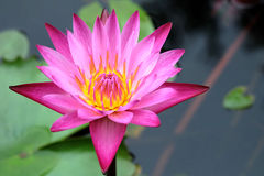 Beautiful lotus flower in the pond Royalty Free Stock Image