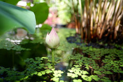 Beautiful lotus flower in pond. Beautiful young lotus flower in pond royalty free stock image