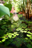 Beautiful lotus flower in pond. Beautiful young lotus flower in pond royalty free stock images