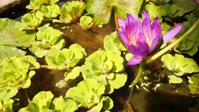 Beautiful Lotus flower. Purple Water Lily Plant. 4K. Thailand stock video footage