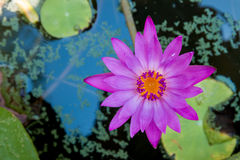 Beautiful Lotus flower Stock Photography