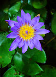 A beautiful  lotus flower. Purple lotus flower with yellow pollen Stock Photo
