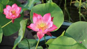 Beautiful lotus flower stock footage