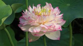 Beautiful lotus flower stock video footage
