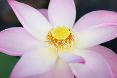 Beautiful Lotus Flower Stock Photography