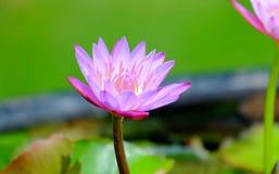 Beautiful lotus flower Stock Image