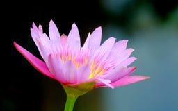 Beautiful lotus flower Royalty Free Stock Image