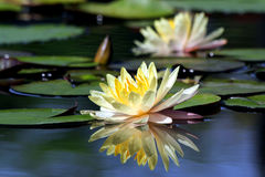 Beautiful lotus flower. With reflection Stock Image