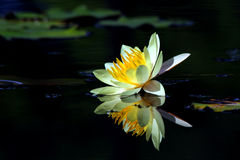 Beautiful lotus flower. With reflection Royalty Free Stock Photos