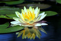 Beautiful lotus flower. With reflection Royalty Free Stock Photo