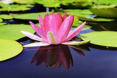 Beautiful lotus flower is the symbol of the Buddha Royalty Free Stock Images