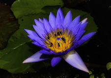 Beautiful lotus flower is the symbol of the Buddha Royalty Free Stock Image