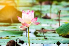 Beautiful lotus flower is the symbol of the Buddha, Thailand. Beautiful lotus flower is the symbol of the Buddha, Thailand Stock Photo