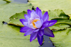 Beautiful lotus flower is the symbol of the Buddha, Thailand. Royalty Free Stock Photography