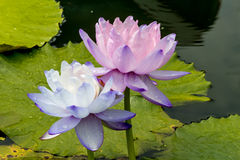 Beautiful lotus flower is the symbol of the Buddha, Thailand. Stock Images