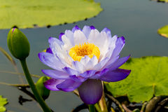 Beautiful lotus flower is the symbol of the Buddha, Thailand. royalty free stock image