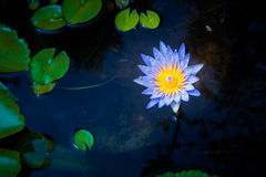 Beautiful lotus flower in water Royalty Free Stock Image