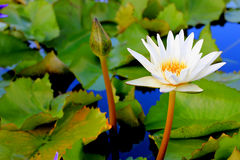 Beautiful lotus flower. Water lily (Nymphaea alba) in the pond Stock Photos