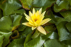 Beautiful lotus flower or water lily. Stock Images