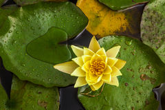 Beautiful lotus flower or water lily. Stock Image