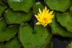 Beautiful lotus flower or water lily. Royalty Free Stock Photos