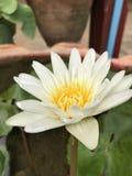 Beautiful lotus flower . Stock Photo