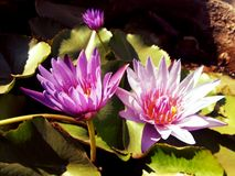 The beautiful lotus flowers Stock Photos