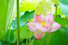 Beautiful pink lotus flower with green leaves. A beautiful lotus flowers growing in the garden, floral background. And there are some green leaves royalty free stock image