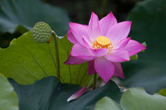 Beautiful Lotus Flowers In Vietnam Stock Images